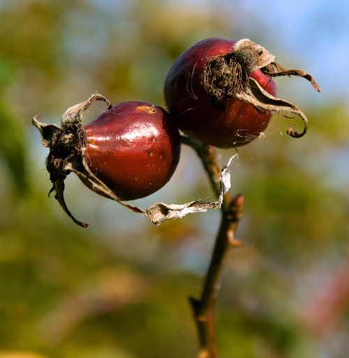 Autumn rosehips