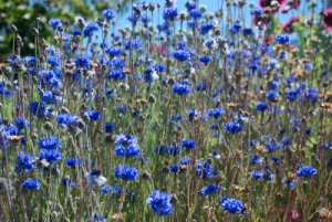 Cornflower meadow