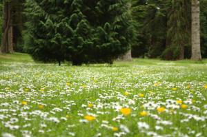 Daisies_Carpet