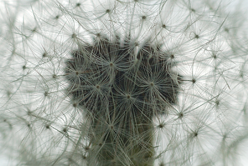 Dandelion Herbal Beauty