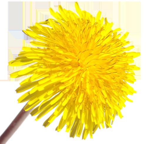 Dandelion Natural Skincare