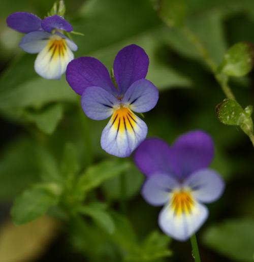 Viola Herbal Beauty