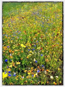 Wild Flower Meadow Olympic