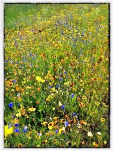 Wild Flower Meadow Olympic