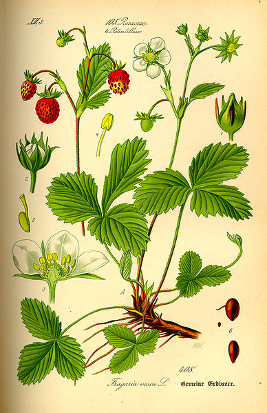 Wild strawberry botanical print
