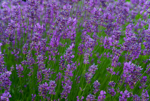Lavender - Herb & Hedgerow