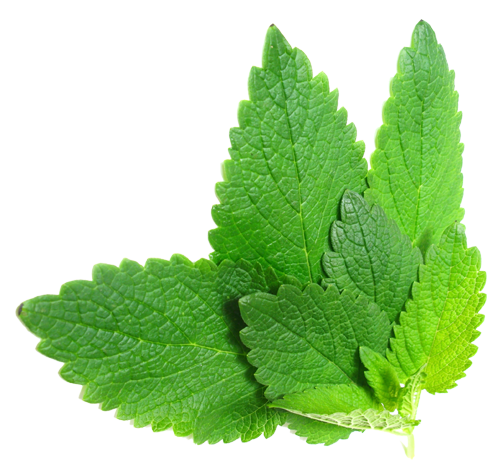 Herb-Hedgerow-Lemon-Balm-Melissa