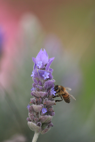 Lavender bee - Herb & Hedgerow