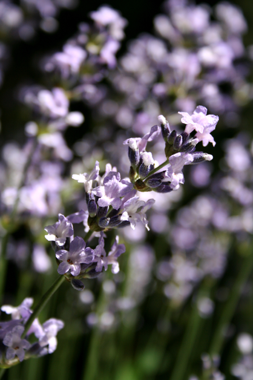 Lavender flowers - Herb & Hedgerow