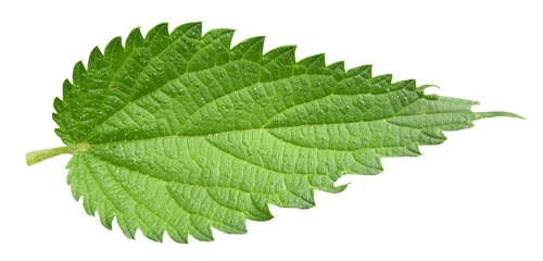 Nettles - Uses in Natural Herbal Beauty & Skincare