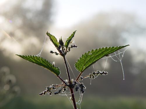 Nettle herbal beauty