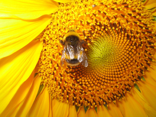 Bee sunflower - honey historical beauty