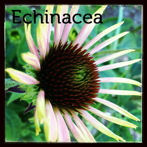 Echinacea in the herb garden