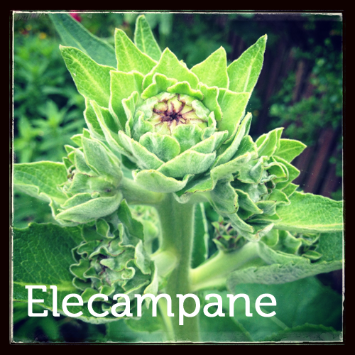 Elecampane in the herb garden