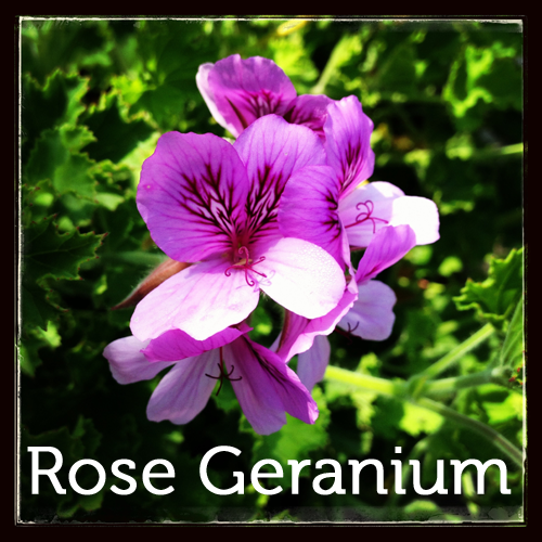 Rose Geranium in the herb garden