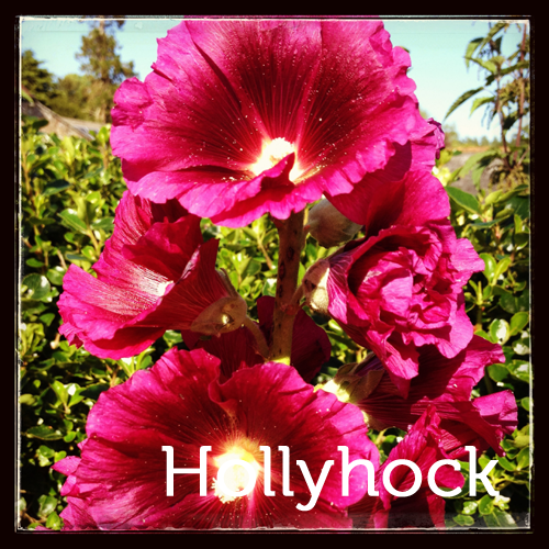 Hollyhock in the herb garden