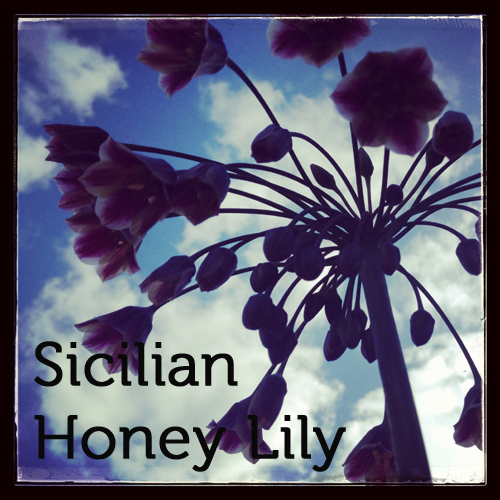 Sicilian Honey Lily in the herb garden