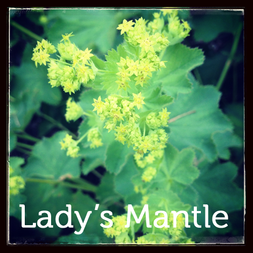 Lady's Mantle in the herb garden