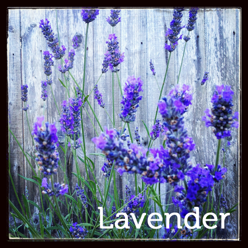 Lavender in the herb garden