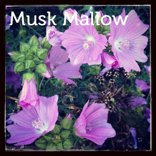 Musk Mallow in the herb garden