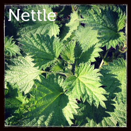 Nettle in the woodland