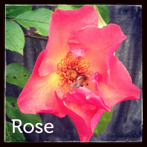 Rose in the herb garden
