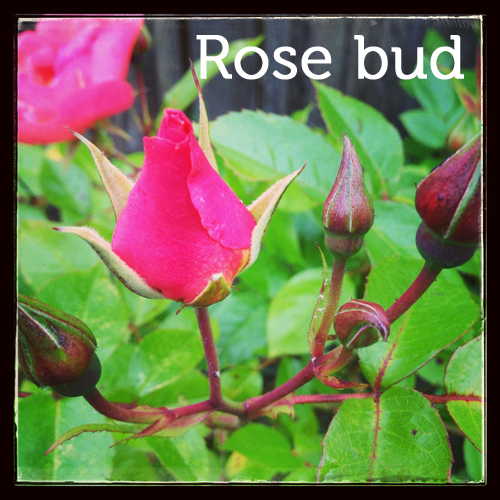 Rose bud in the herb garden