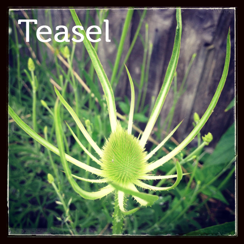 Teasel in the herb garden