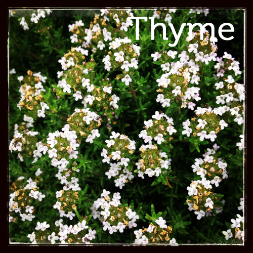 Thyme in the herb garden