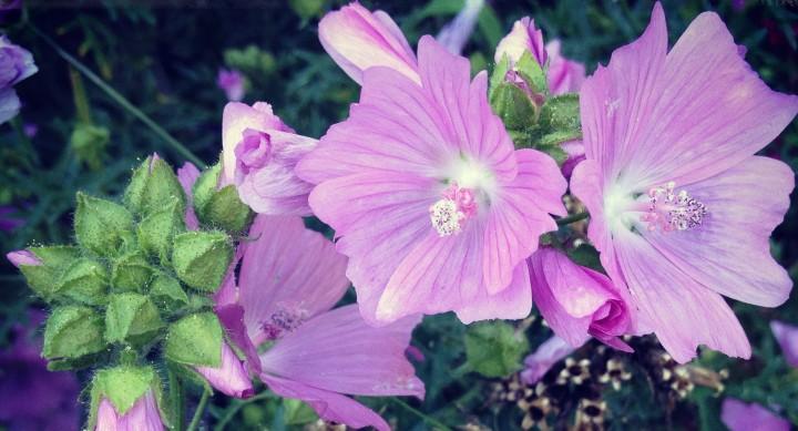 Herbs in the Herb Garden