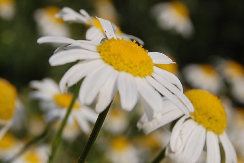Chamomile - Uses in Natural Beauty & Skincare
