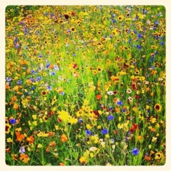 Wildflower Meadow Herb & Hedgerow