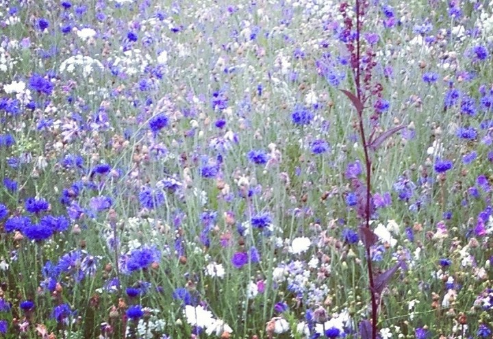 10 Beauty Herbs from the Wildflower Meadow