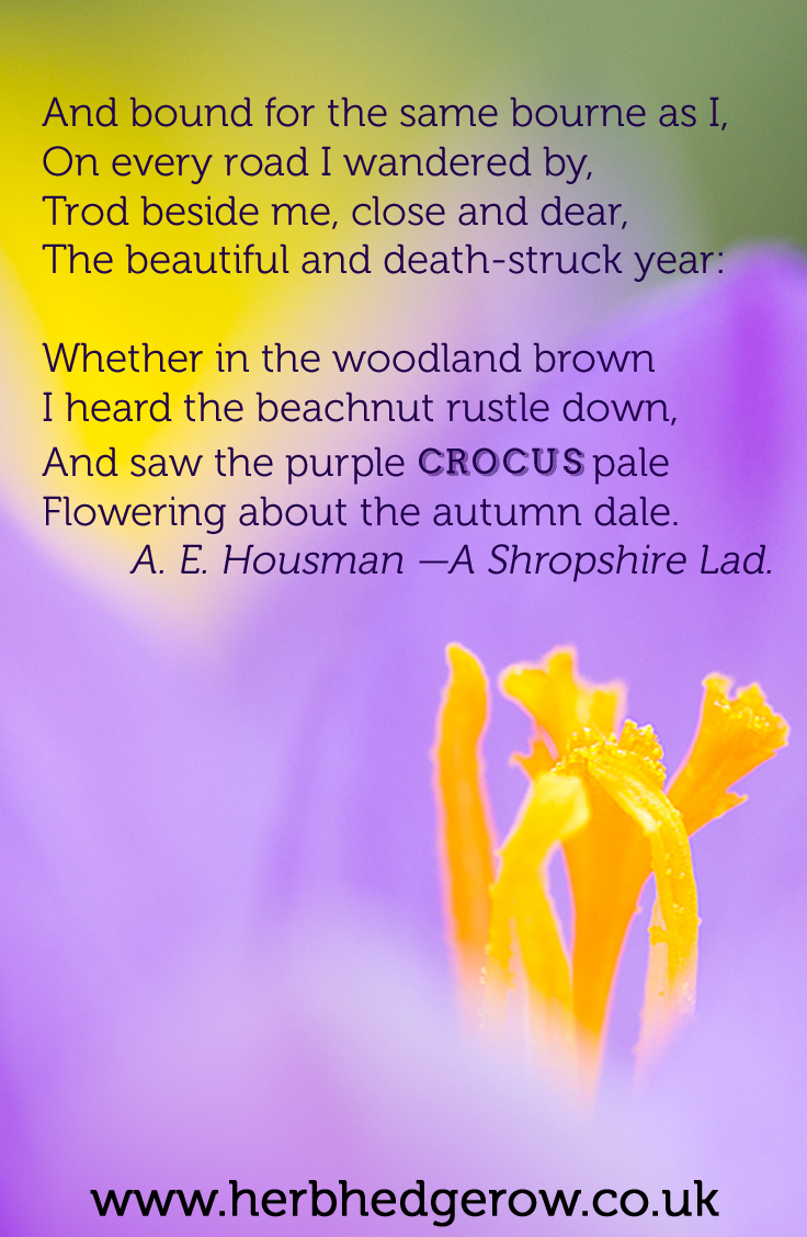 Herbal Quote Crocus A.E.Housman