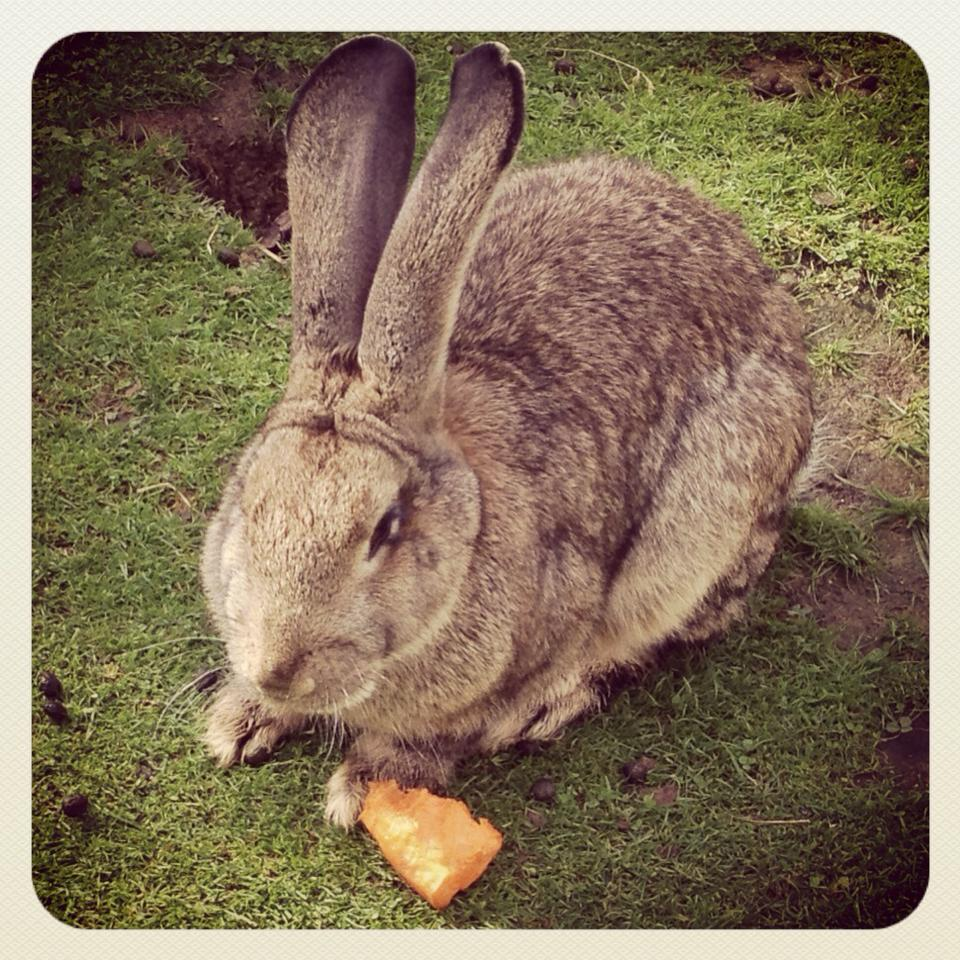 Rabbit ears comedogenic